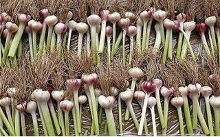Fresh Garlic Cutting Machine 2